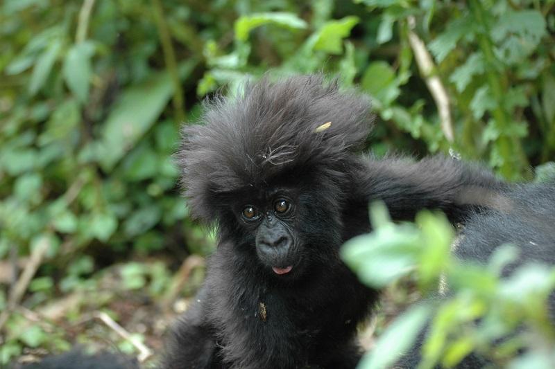 gorila bebé en Ruanda