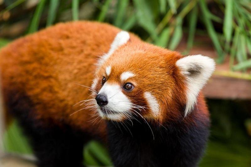 panda rojo en Bután