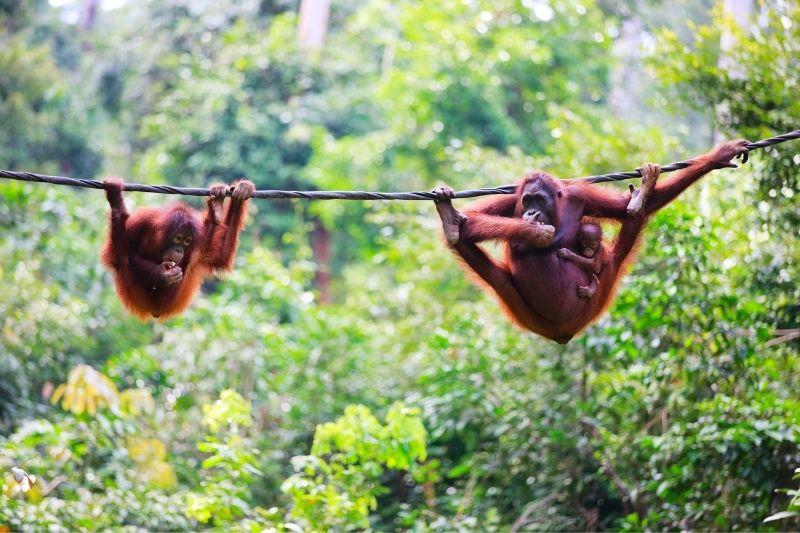 Orángutanes en la selva