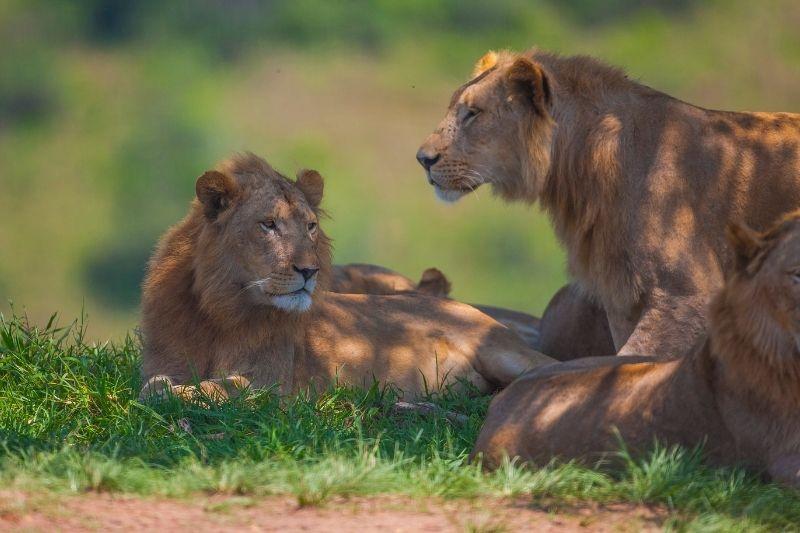 Leones en el Parque Kruger