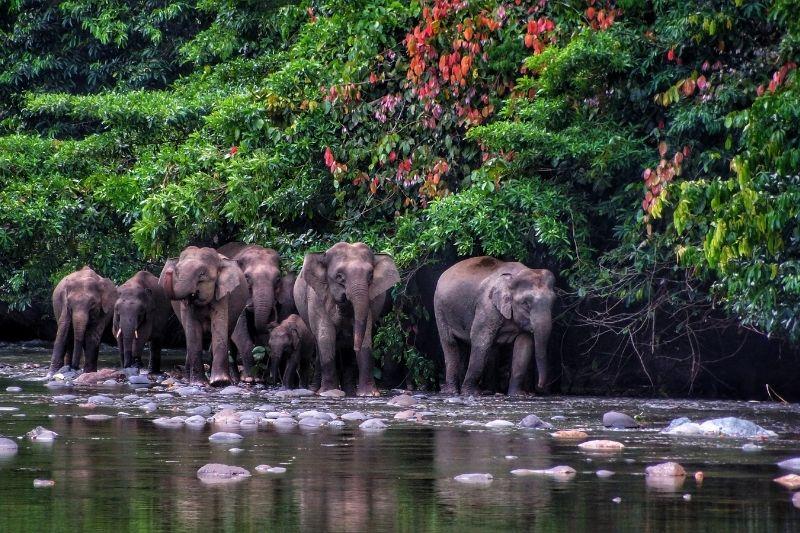 Elefantes en Borneo