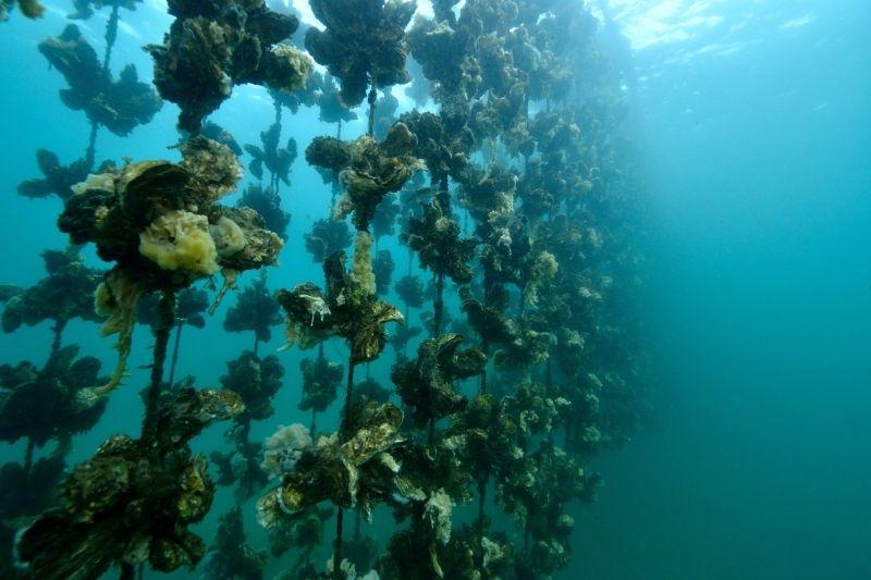 Ostras bajo el mar