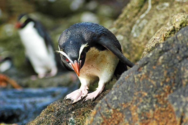 Pingüino en Nueva Zelanda