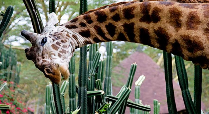 Sopa Lodge con jirafa