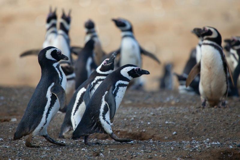 Pingüinos argentinos