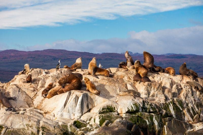 Leones marinos en Tierra de Fuego